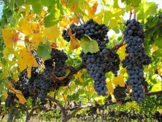 Tour do vinho na Califórnia